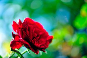 Red Rose with green-blue bokeh by pohlmannmark