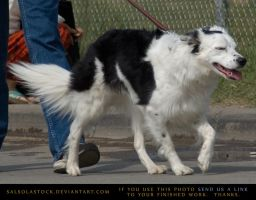 Border Collie 3 by SalsolaStock