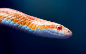 Corn Snake by Glenn0o7