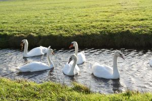 swans 1 by priesteres-stock