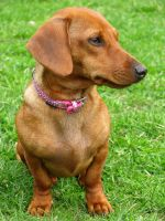 My lovely Dachshund by Mercilies