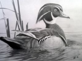 Wood Duck by ddanos