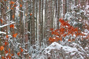 Snowy Woods 10 by Adeimantus