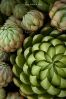 Hens and Chicks by abstractcamera