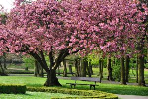 under a cherry tree I by Wilithin