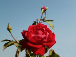 Red Rose by SukhRiar