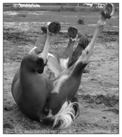 For Equine Resource: Rolling05 by JNFerrigno
