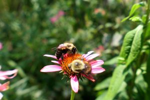 Bumblebees by livelaughlove816