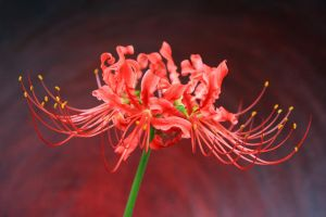 Red Spider Lily Standard by skimlines