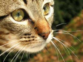 Stock Image - Tabby Kitten 4 by Squirrel-Art