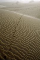 Coyote Tracks by RandyHughes