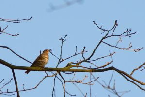 Turdus philomelos 2 by CorpyDragon
