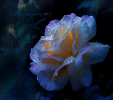 Blue Light Rose by Callu