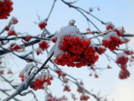 Winter Sorbus by Chanteur-de-Vent