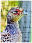 Pheasant Hen by chained2stone