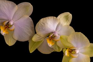 moth orchid 10 by tea