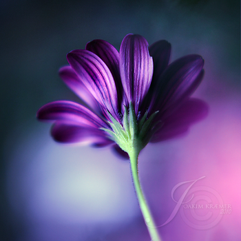 Portrait of a flower by Healzo