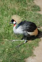 crowned crane by LimeStock