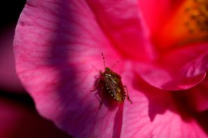 Insect on a rose by shaunthorpe