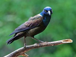 Common Grackle - Smile Please by MichelLalonde