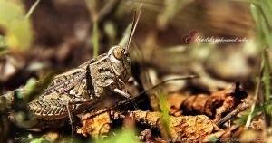 Grasshoppers in the grass by msalizadeh