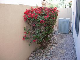 577 - bougainvillea by WolfC-Stock