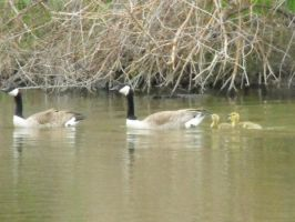 Geese Family by laners-08