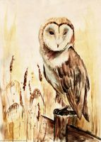 Barn Owl by Ines92