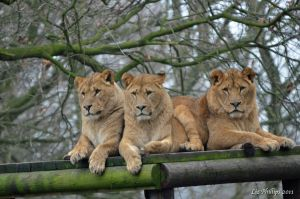 Three Lions by Red-Smurfette