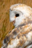Barn Owl Glance by Shadow-and-Flame-86