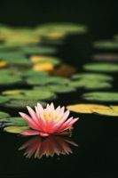 Water Lilies 1 by elektrateq