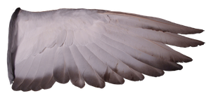 Pigeon Wing 02 by Treeclimber-Stock