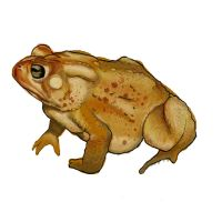 Painting Study - Toad by Art-by-Edum