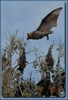 Flying Fox by TheNakedSneff