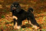 Black and tan poodle by SaNNaS