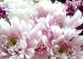 chrysanthemums 2 by calsilver