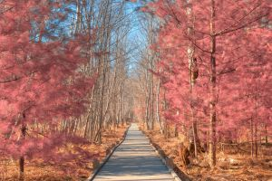Jesup Boardwalk Trail - Tickle Me Pink by somadjinn