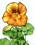 Nasturtiums by secretplanet