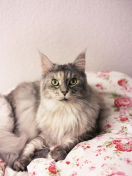 Maine Coon by ElyneNoir
