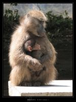 Baboons by Crooty