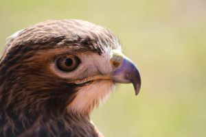 Red-tailed Hawk by Broadwinger