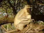 the monkey in the African tree by Windstern