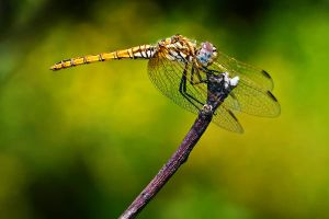 Female Red Veined Darter by dalantech