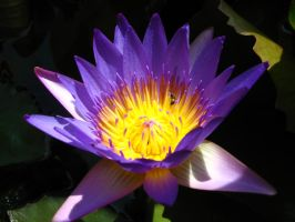 water lily 1868 by fa-stock