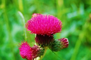 Thistle by nazzara