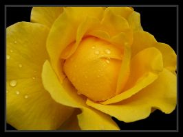 Wet Yellow Rose by andras120