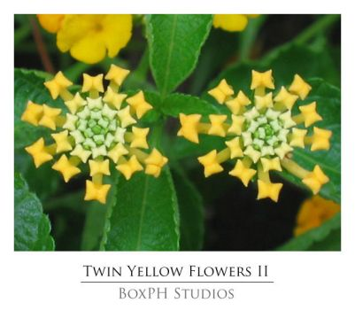 Twin Yellow Flowers II by boxph