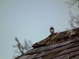 pied wagtail 15 by harrietbaxter
