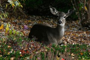 A Doe in Autumn by Larry-M