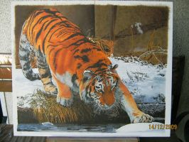 siberian tiger by eymage